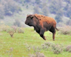 bison-buffalo-on-ranch-running-in-washington-oregon